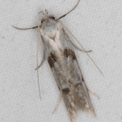 Unidentified Moth (Lepidoptera) (TBC) at Melba, ACT - 6 Apr 2021 by Bron
