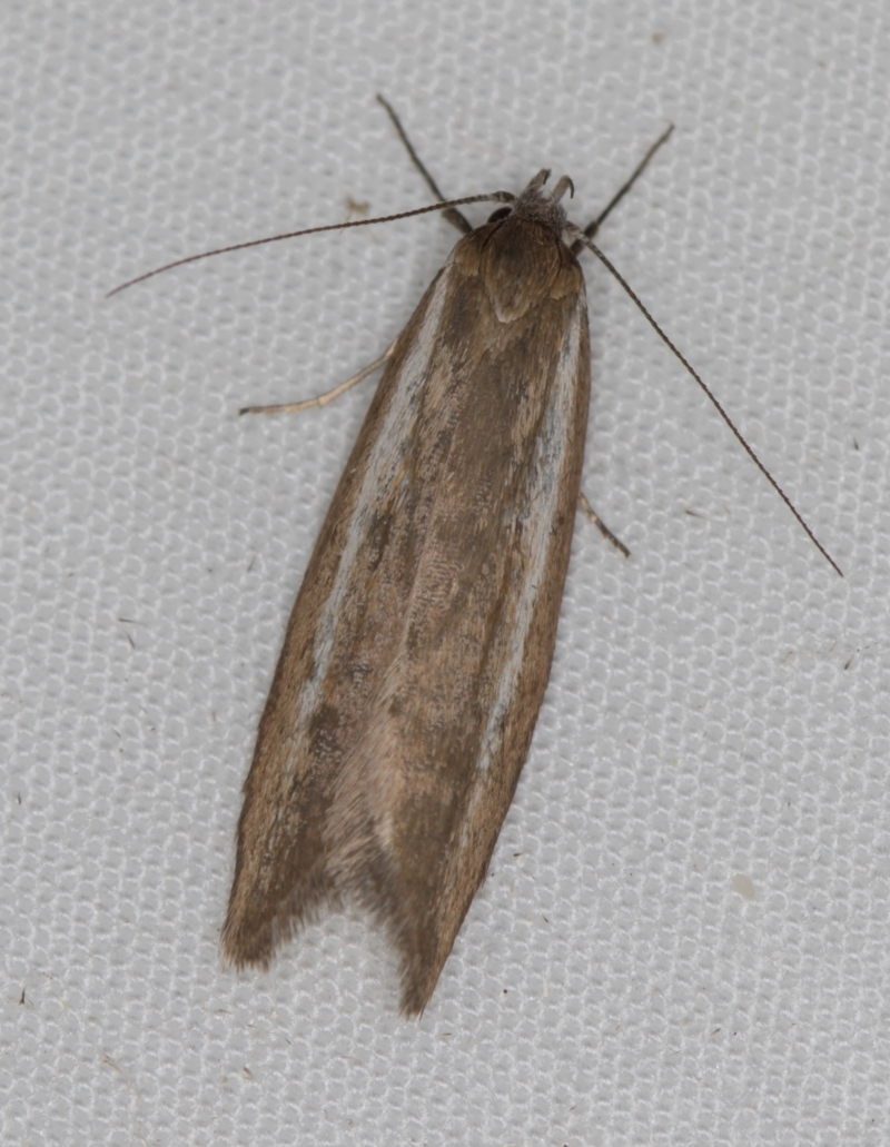 Philobota (genus) at Melba, ACT - 6 Apr 2021