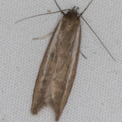 Philobota (genus) (Unidentified Philobota genus moths) at Melba, ACT - 6 Apr 2021 by Bron