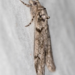 Smyriodes undescribed species nr aplectaria at Melba, ACT - 6 Apr 2021