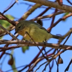 Acanthiza nana (Yellow Thornbill) at Jerrabomberra Wetlands - 30 Apr 2021 by RodDeb
