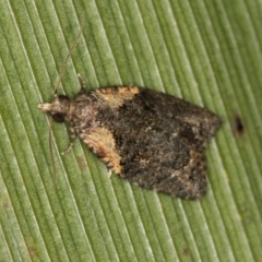 Capua intractana (A Tortricid moth) at Melba, ACT - 7 Apr 2021 by Bron
