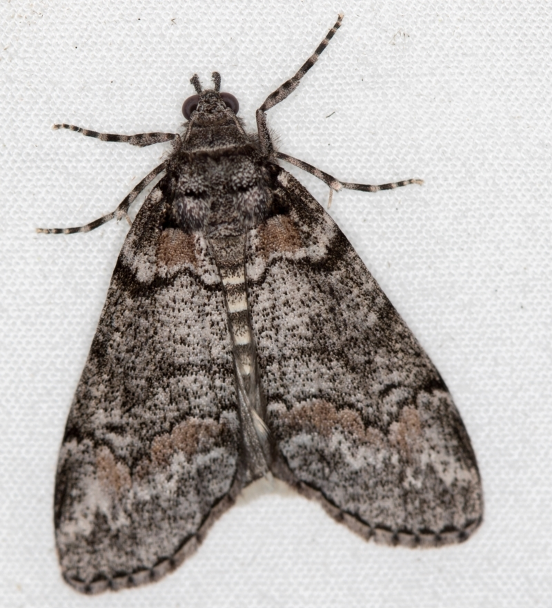 Smyriodes undescribed species nr aplectaria at Melba, ACT - 8 Apr 2021