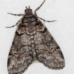 Smyriodes undescribed species nr aplectaria at Melba, ACT - 8 Apr 2021 by Bron