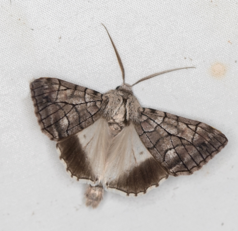 Stibaroma undescribed species at Melba, ACT - 8 Apr 2021