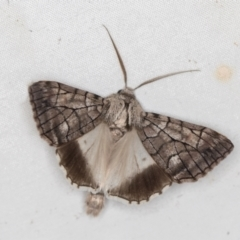 Stibaroma undescribed species (A Line-moth) at Melba, ACT - 8 Apr 2021 by Bron