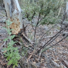 Olearia phlogopappa subsp. flavescens (TBC) at Captains Flat, NSW - 2 May 2021 by SteveHodgman