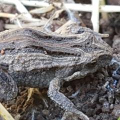 Crinia sp. (genus) (A froglet) at Swamp Creek - 1 May 2021 by tpreston