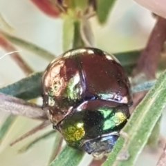 Unidentified Leaf beetle (Chrysomelidae) (TBC) at Coree, ACT - 1 May 2021 by tpreston