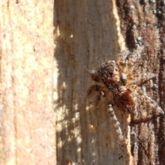 Servaea sp. (genus) (Unidentified Servaea jumping spider) at Denman Prospect, ACT - 1 May 2021 by tpreston