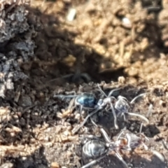 Iridomyrmex rufoniger (Tufted Tyrant Ant) at Denman Prospect, ACT - 1 May 2021 by tpreston