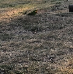 Polytelis swainsonii (Superb Parrot) at Wanniassa, ACT - 29 Apr 2021 by jksmits
