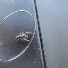 Sandalodes superbus (Ludicra Jumping Spider) at Wanniassa, ACT - 1 May 2021 by jksmits