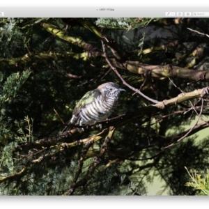 Chrysococcyx lucidus (Shining Bronze-Cuckoo) at Penrose by NigeHartley