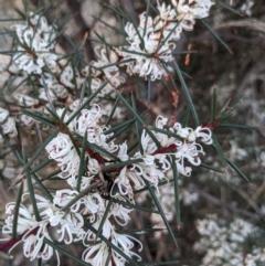 Hakea decurrens (Bushy Needlewood) at Mount Majura - 1 May 2021 by WalterEgo
