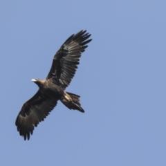 Aquila audax at Callum Brae - 29 Apr 2021