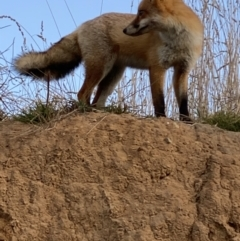 Vulpes vulpes (Red Fox) at Jerrabomberra Wetlands - 1 May 2021 by KL