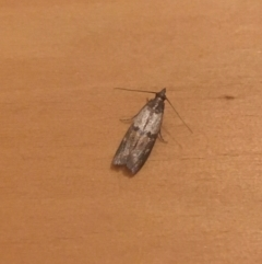 Plodia interpunctella (Indian meal moth) at O'Connor, ACT - 29 Apr 2021 by Ned_Johnston