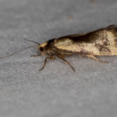 Isomoralla pyrrhoptera (A concealer moth) at Melba, ACT - 4 Jan 2021 by Bron