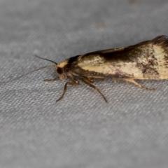 Isomoralla pyrrhoptera (A concealer moth) at Melba, ACT - 4 Jan 2021 by Bron