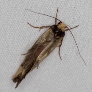 Isomoralla pyrrhoptera at Melba, ACT - 5 Jan 2021
