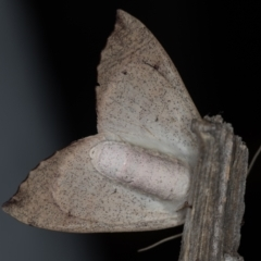 Arhodia lasiocamparia at Melba, ACT - 5 Jan 2021
