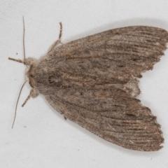 Paralaea (genus) (TBC) at Melba, ACT - 4 Jan 2021 by Bron