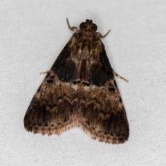 Orthaga thyrisalis (Teatree Web Moth) at Melba, ACT - 5 Jan 2021 by Bron