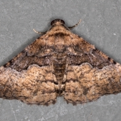 Aporoctena (genus) (A Geometrid moth) at Melba, ACT - 5 Jan 2021 by Bron