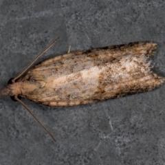 Epiphyas postvittana (Light Brown Apple Moth) at Melba, ACT - 5 Jan 2021 by Bron