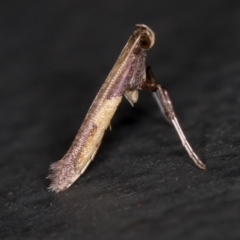 Caloptilia azaleella (Azalea Leafminer) at Melba, ACT - 5 Jan 2021 by Bron