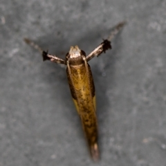 Caloptilia azaleella at Melba, ACT - 5 Jan 2021