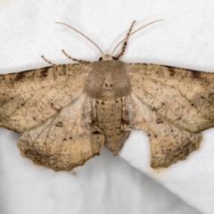 Circopetes obtusata (Grey Twisted Moth) at Melba, ACT - 5 Jan 2021 by Bron