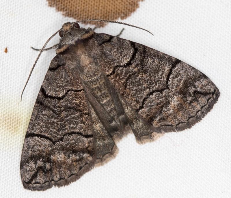Dysbatus undescribed species at Melba, ACT - 5 Jan 2021