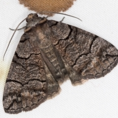 Dysbatus undescribed species (A Line-moth) at Melba, ACT - 5 Jan 2021 by Bron