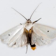 Maroga melanostigma (Pecan Stem Girdler) at Melba, ACT - 5 Jan 2021 by Bron