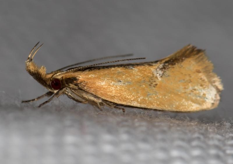 Thema (genus) at Melba, ACT - 31 Dec 2020