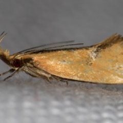 Thema (genus) (A Concealer moth) at Melba, ACT - 30 Dec 2020 by Bron
