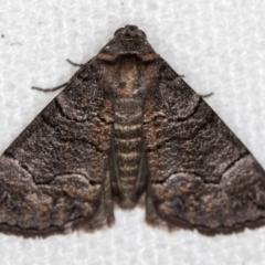 Dysbatus undescribed species (A Line-moth) at Melba, ACT - 30 Dec 2020 by Bron