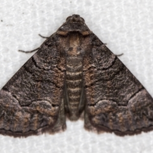 Dysbatus undescribed species at Melba, ACT - 31 Dec 2020