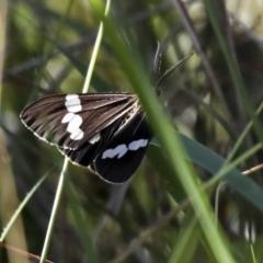 Nyctemera amicus (Senecio or Magpie moth) at Callum Brae - 29 Apr 2021 by AlisonMilton