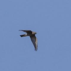 Accipiter cirrocephalus (Collared Sparrowhawk) at Callum Brae - 29 Apr 2021 by AlisonMilton