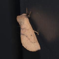 Fisera perplexata (Light-tan Crest-moth) at Higgins, ACT - 28 Apr 2021 by AlisonMilton