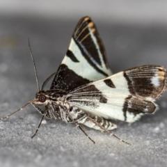 Phrataria bijugata at Melba, ACT - 30 Dec 2020