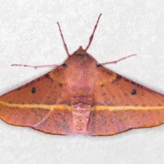 Oenochroma vinaria (Pink-bellied moth) at Melba, ACT - 29 Dec 2020 by Bron