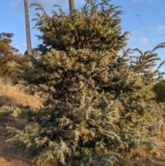 Acacia baileyana (Cootamundra Wattle, Golden Mimosa) at Mount Majura - 1 May 2021 by WalterEgo