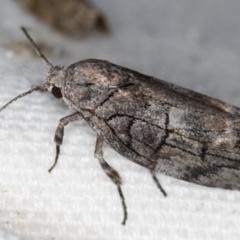 Illidgea epigramma (A Gelechioid moth) at Melba, ACT - 30 Dec 2020 by Bron