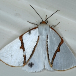 Thalaina selenaea at Ainslie, ACT - 30 Apr 2021