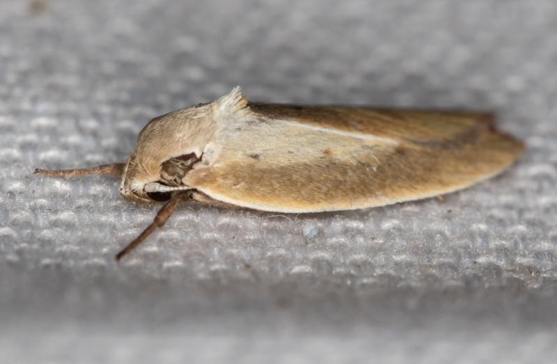 Ptyoptila matutinella at Melba, ACT - 30 Dec 2020
