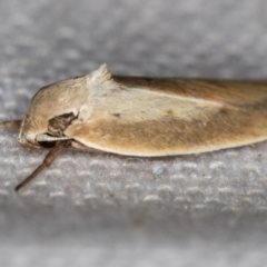 Ptyoptila matutinella (A Concealer moth) at Melba, ACT - 30 Dec 2020 by Bron
